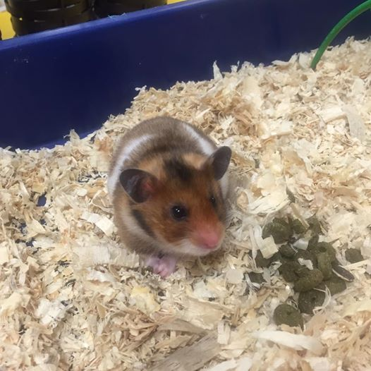 Rolo the hamster at Bright Beginnings Preschool Fernie BC